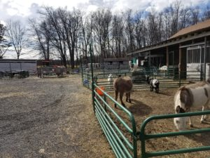 A barnyard area in the Poconos, Pennsylvania with fences, within which donkeys and goats roam about.